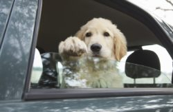 Driving With Pets